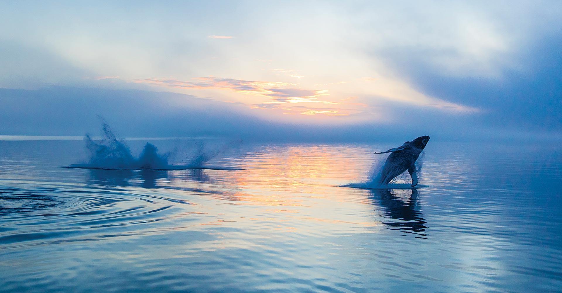 Whale breaching at sunrise