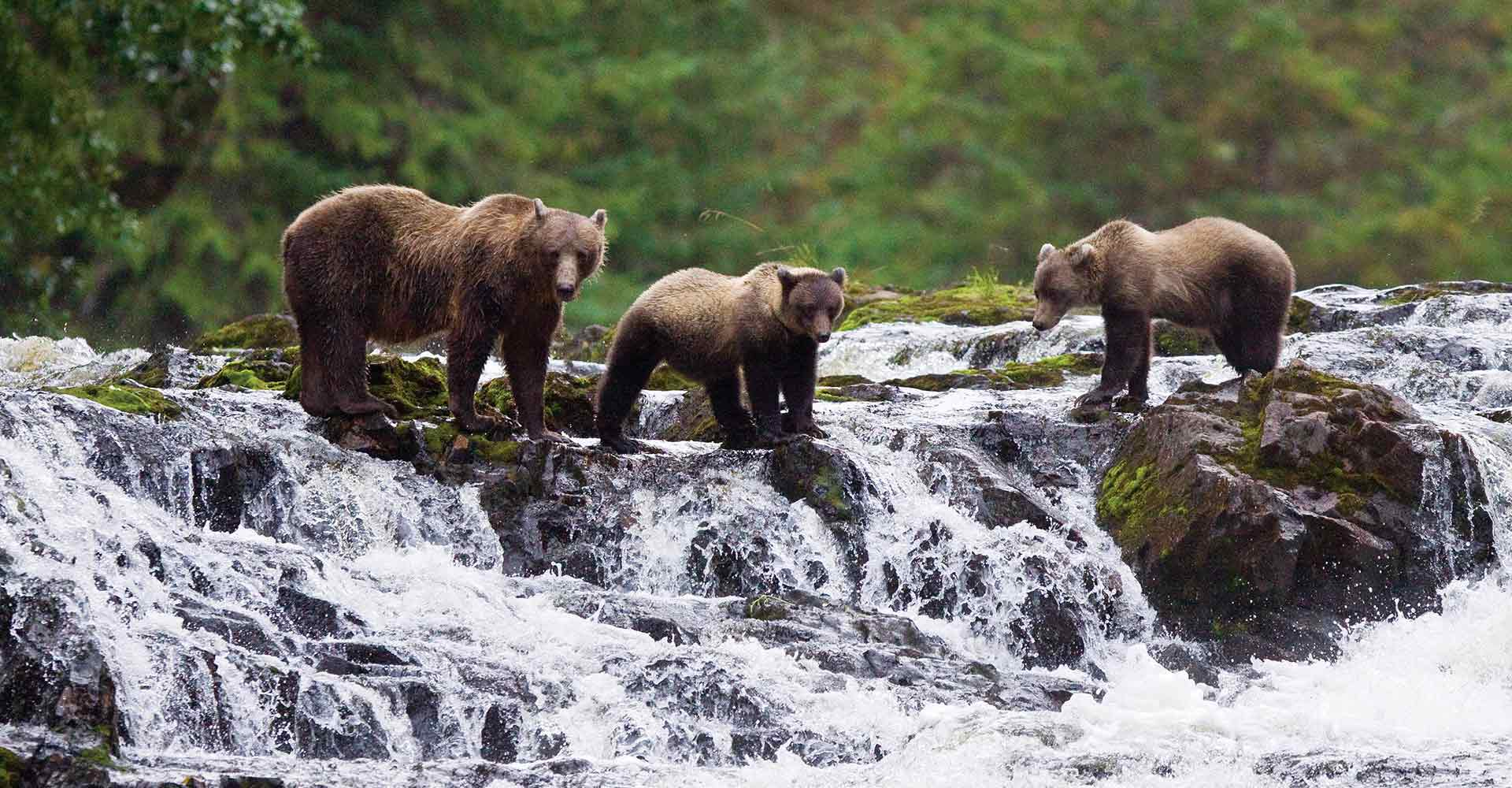 Bears at top of stream waiting for salmon
